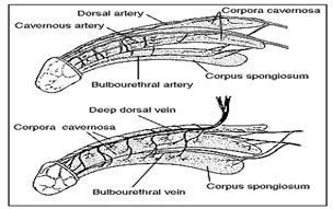 Acupressure points for erectile dysfunction