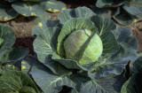 Cabbage & Chinese Nutrition
